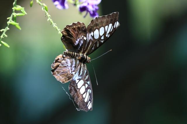 Butteerfly TDG