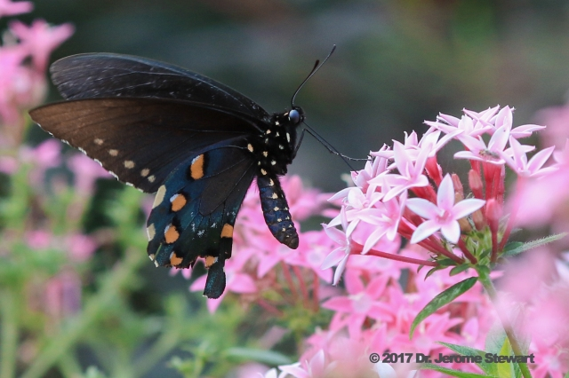 Pipevine Swallowtail (III, ©) DA Oct 5, 2017.jpg