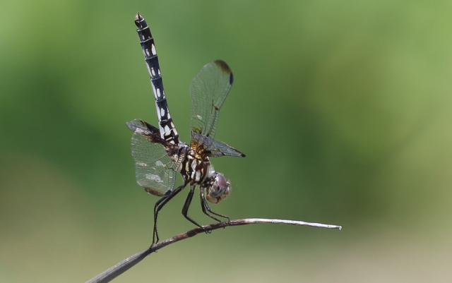 Dragonfly (I) Midlo Backyard (May 31, 2017)