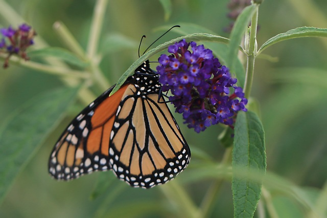 Monarch (A.1) Midlo Backyard June 19, 2018