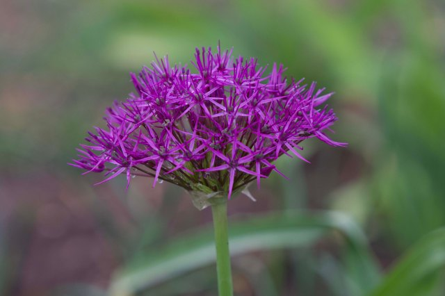 Allium 1.1 Midlo Backyard Apr 6, 2019